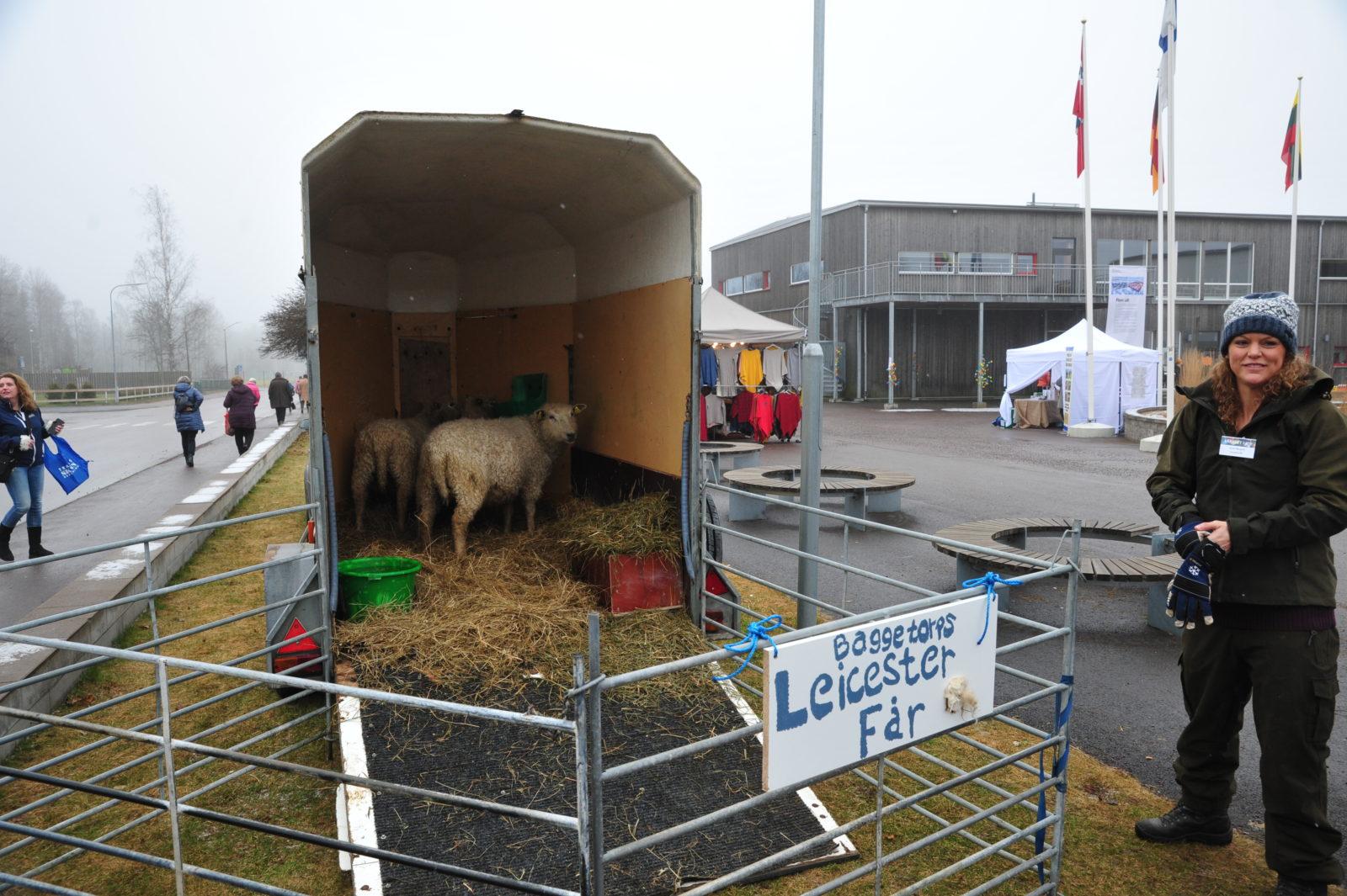 Fin får-visit. Leicester från Birgit och Arne Sturessons djur.